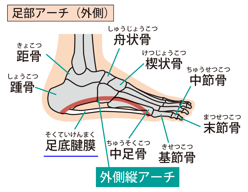 足底腱膜とアーチ