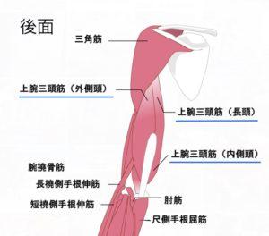 上腕骨三頭筋イメージ